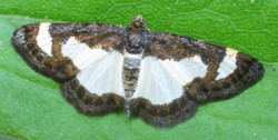 Common Spring Moth