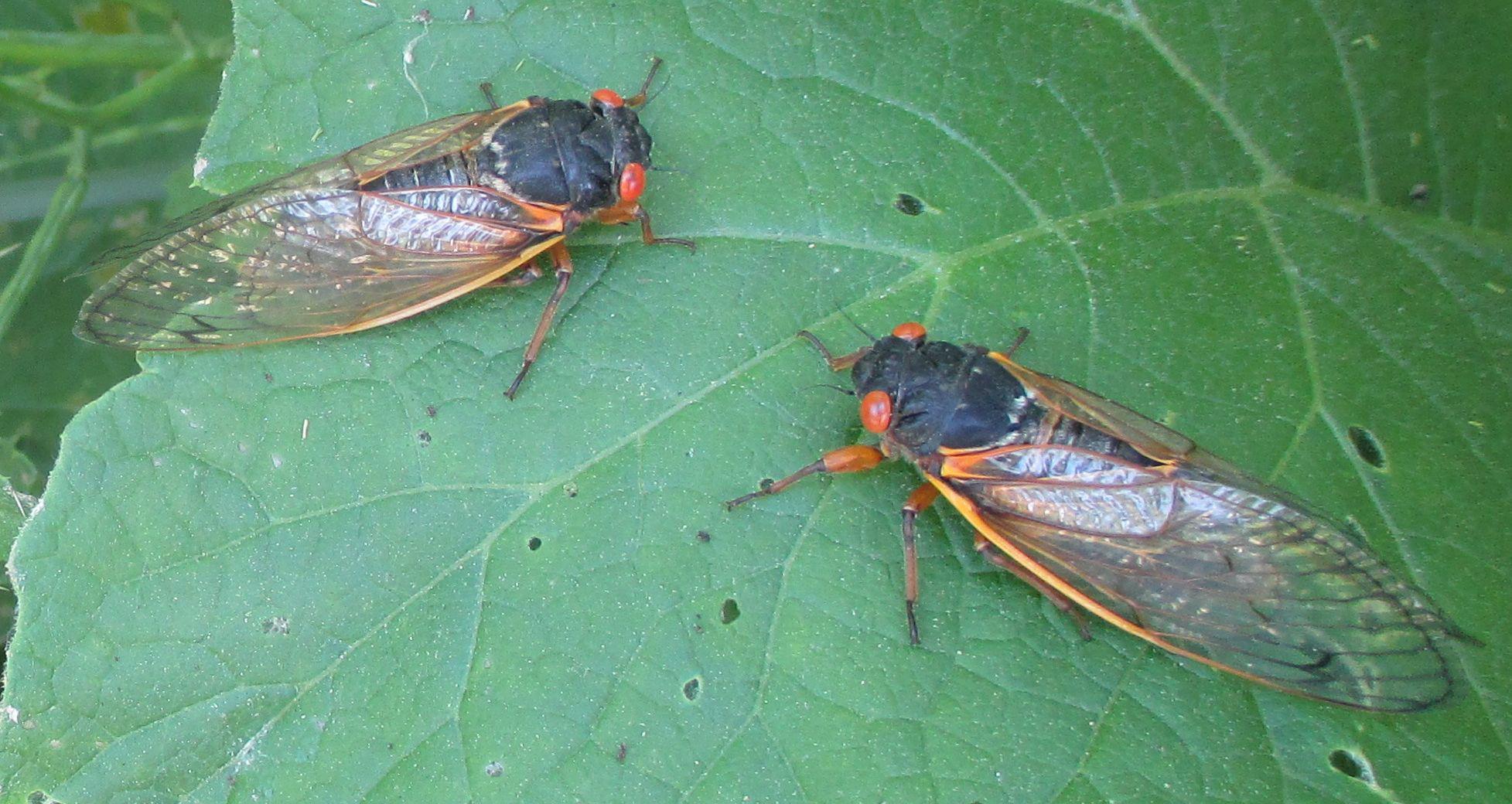 17 year periodical cicada