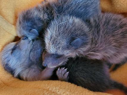 raccoonbabes.jpg