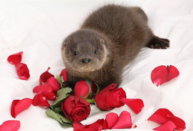 Otter in petals