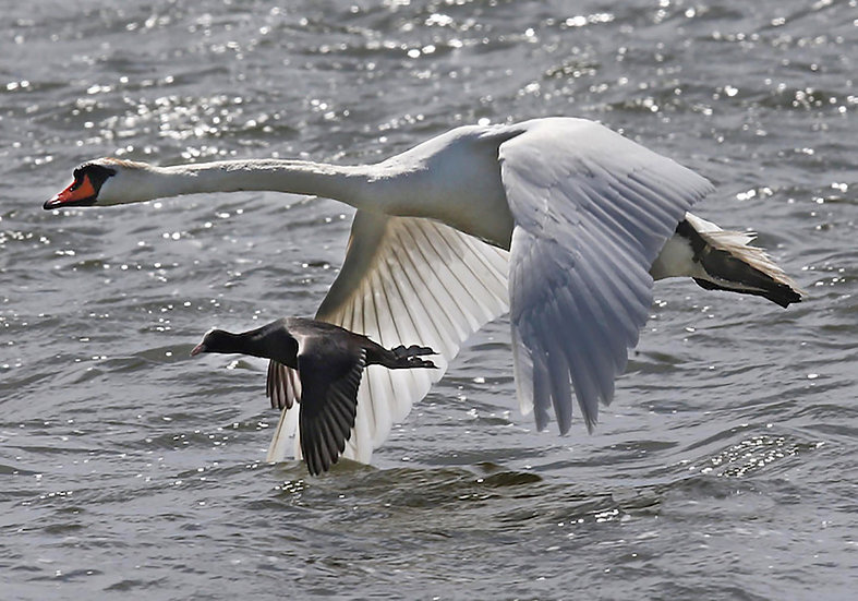 Swan & Coot Flying together.