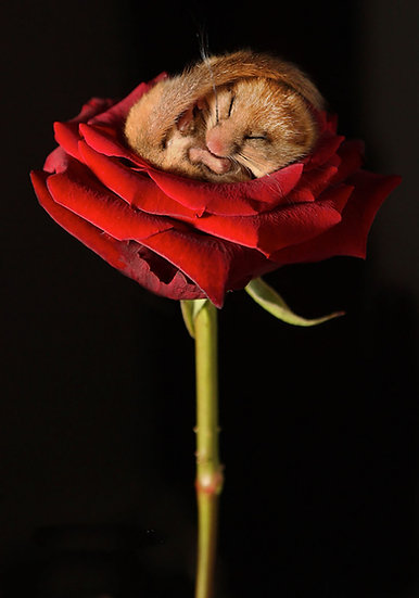 Sleeping Door Mouse on Rose.