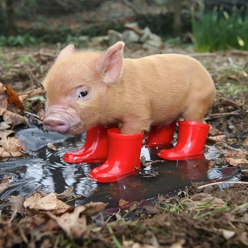 Home richard austin images award winning photographer pocket pig in red wellies voltagebd Gallery