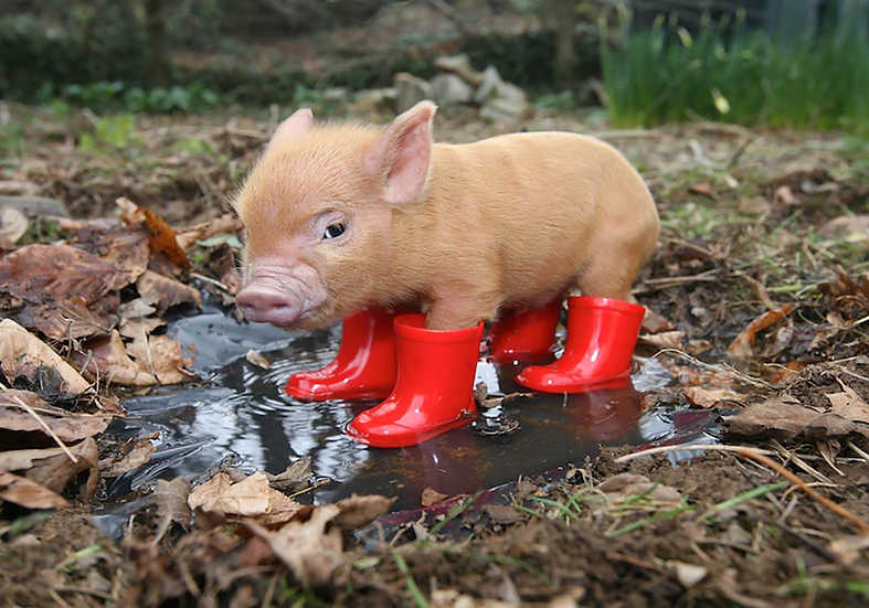 Pennywell pig in red wellies - Richard Austin Images