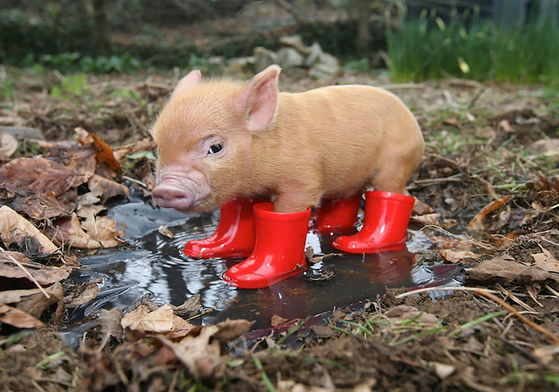 Pig in Red Wellies.