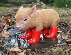 Pig in Red Wellies, Richard Austin Images