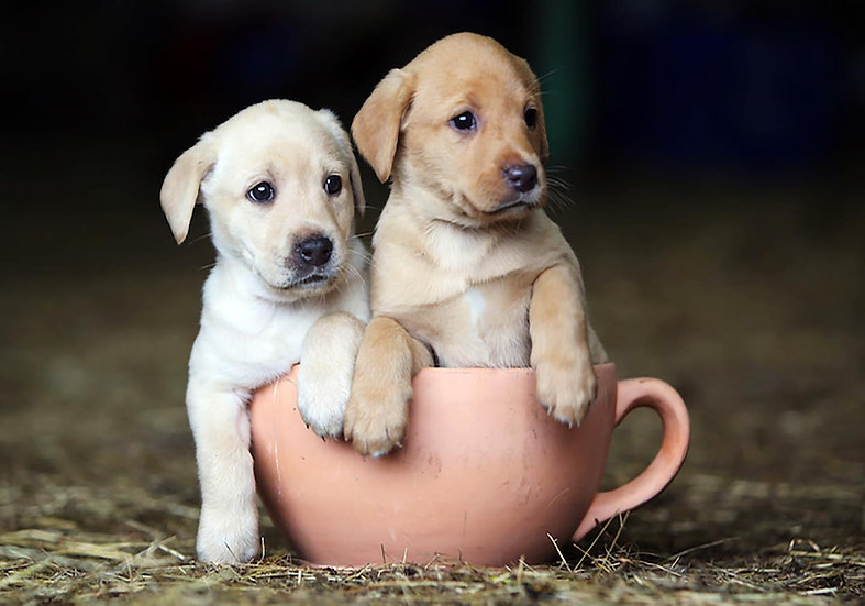 Labs in a Cup.