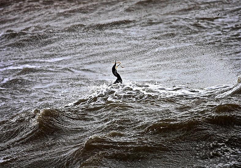 Cormorant in Waves.