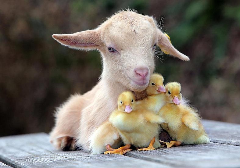 Baby Chics & Goat