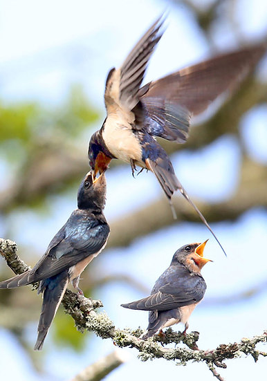 Swallows Feeding
