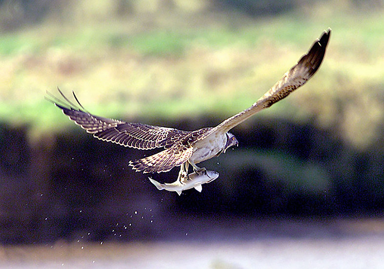 Osprey catching fish.
