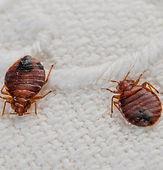 Rockand Pest Identifcation BedBug