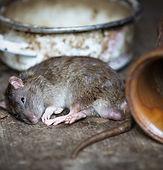 Rockand Pest Identifcation Rat Mice