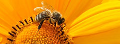 New York bees, wasps, and other stinging insect