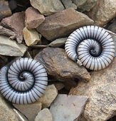 Rockand Pest Identifcation Millipedes