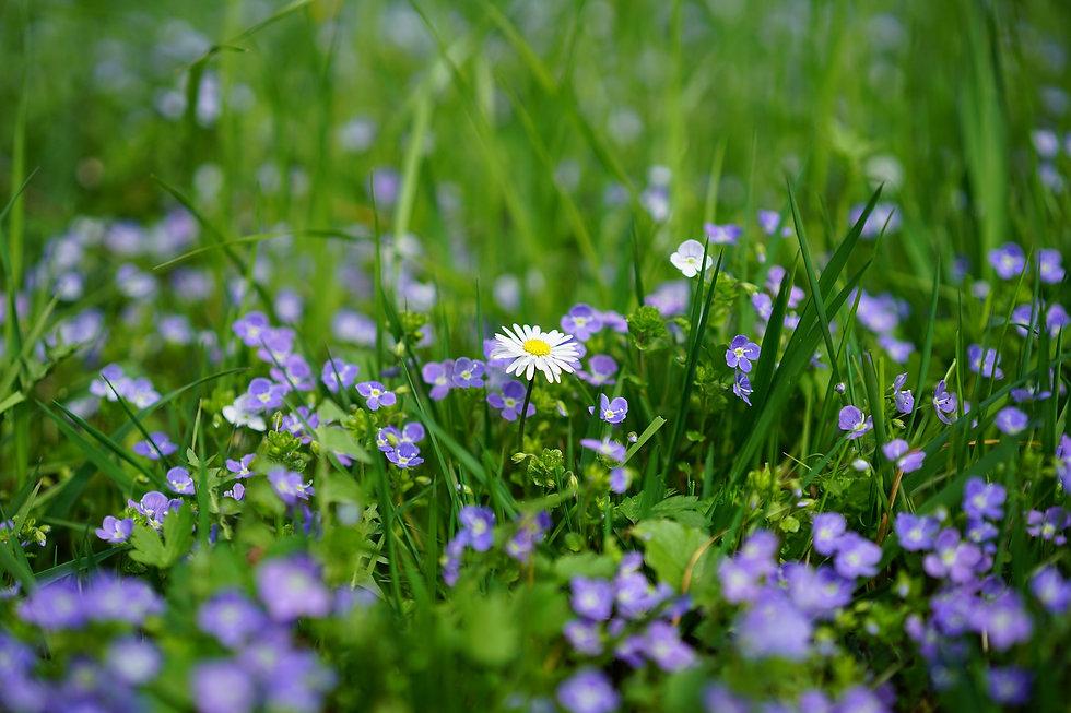 daisy-3102512_1920.jpg