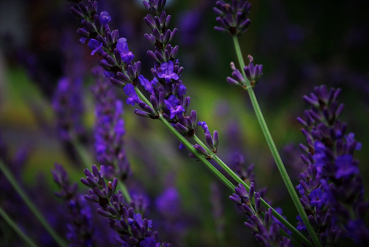 lavender-1537586_1920.jpg