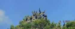 cormoran ile aux oiseaux