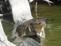 crocodile rio lagartos