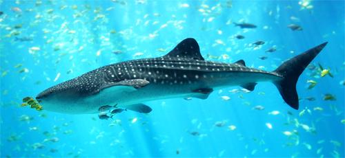 Requin_baleine