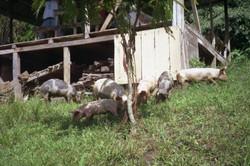 Cerdos domésticos visitan la Reserva