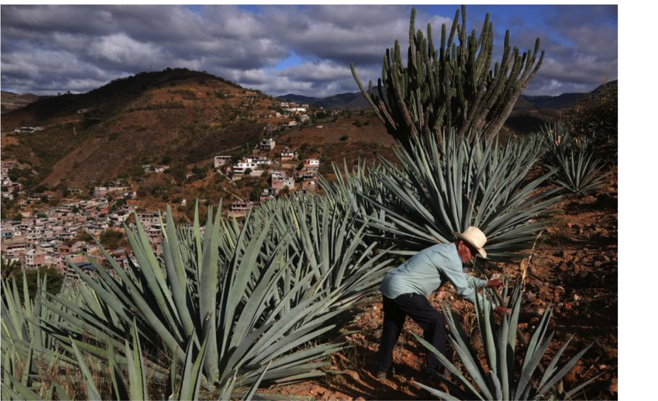 agaves sauvages