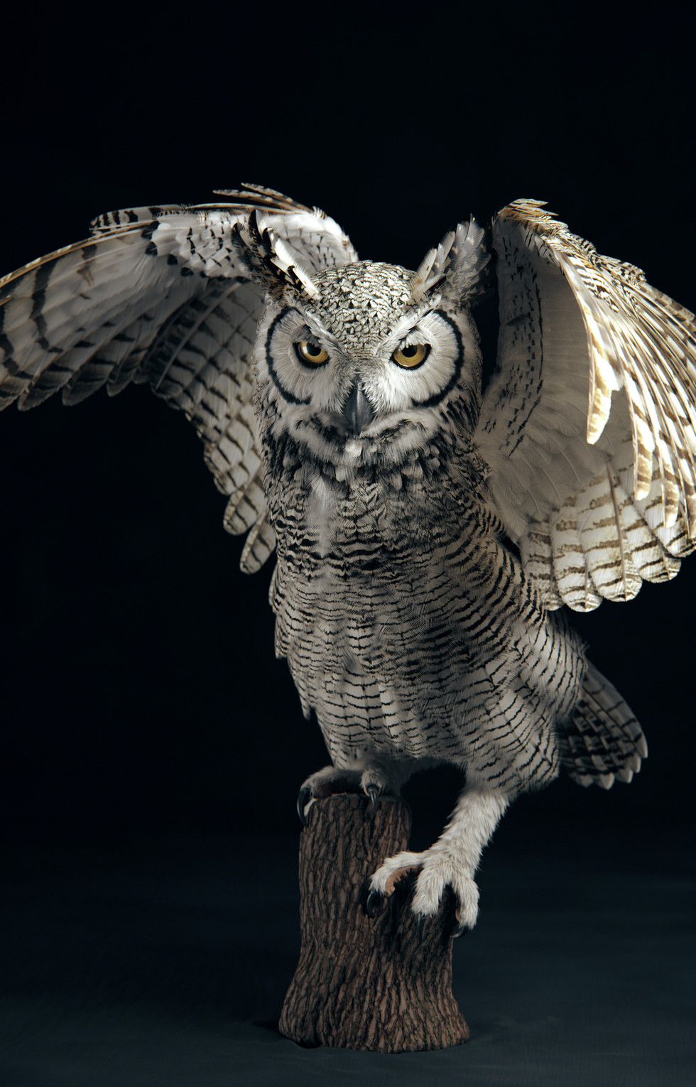 Subarctic Great Horned Owl