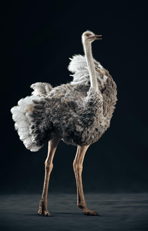 Somali Ostrich (STAND)