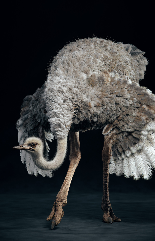Somali Ostrich (Bow)