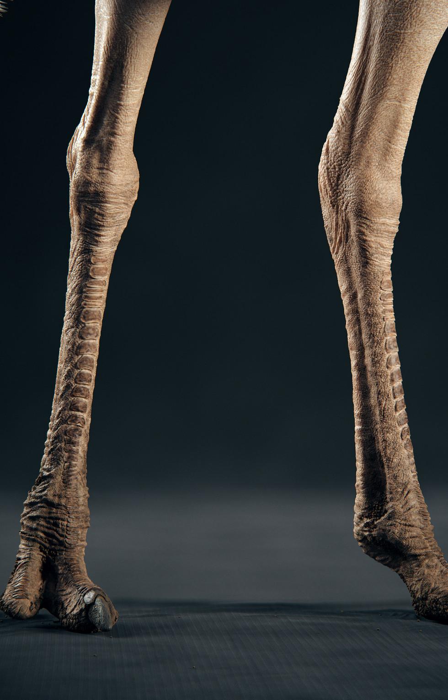 Ostrich- Legs