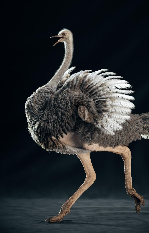Ostrich (RUN)