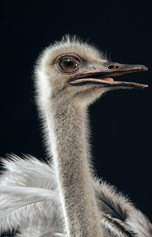 Ostrich- Head