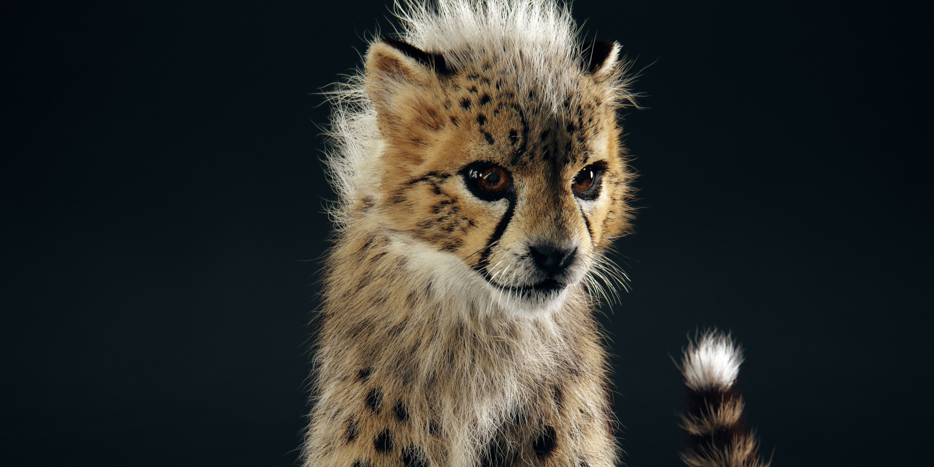 The Baby Cheetah in studio