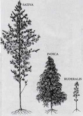 Cannabis Strains.jpg