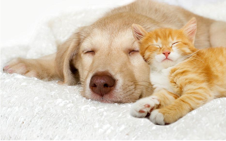 lovely puppy and ginger kitten sleeping