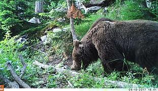 Snimljen u NP Sjeverni Velebit u sklopu suradnje udruga NaturySpy, Bioterra i NP Sjeverni Velebit