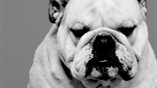 Is Your Pet in Pain? American Bulldog recieves miracle PEMF Therapy.