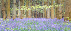 Little Tree and Bluebells