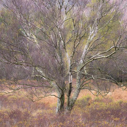 """""""Bog Myrtle and Birch"""""""
