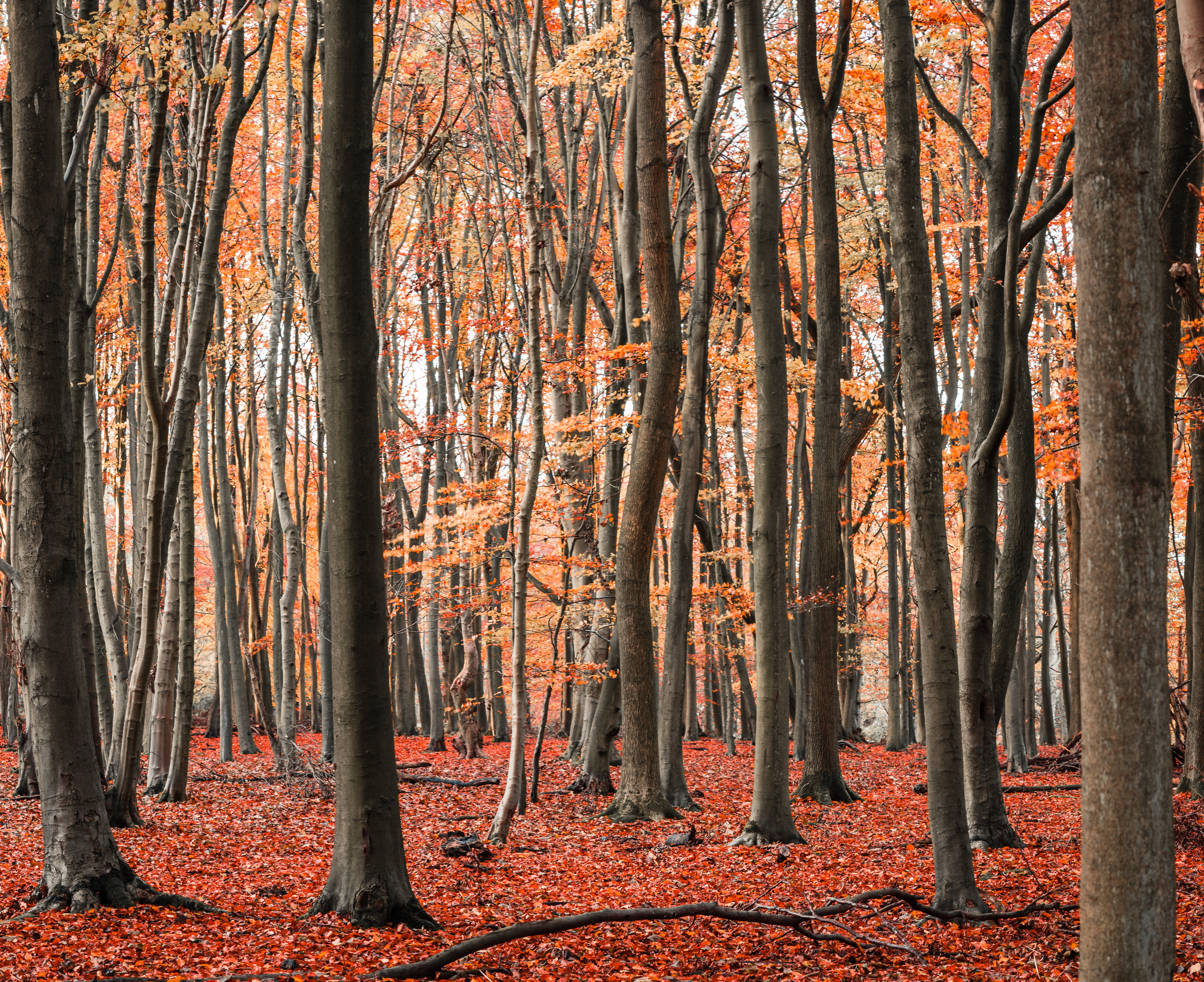 Ashridge Autumn Pano