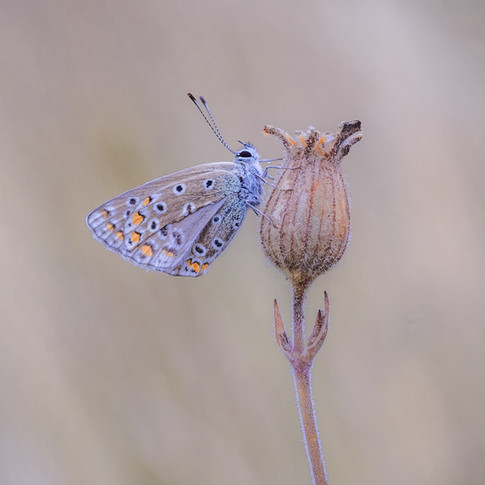 """""""The Common Blue"""""""