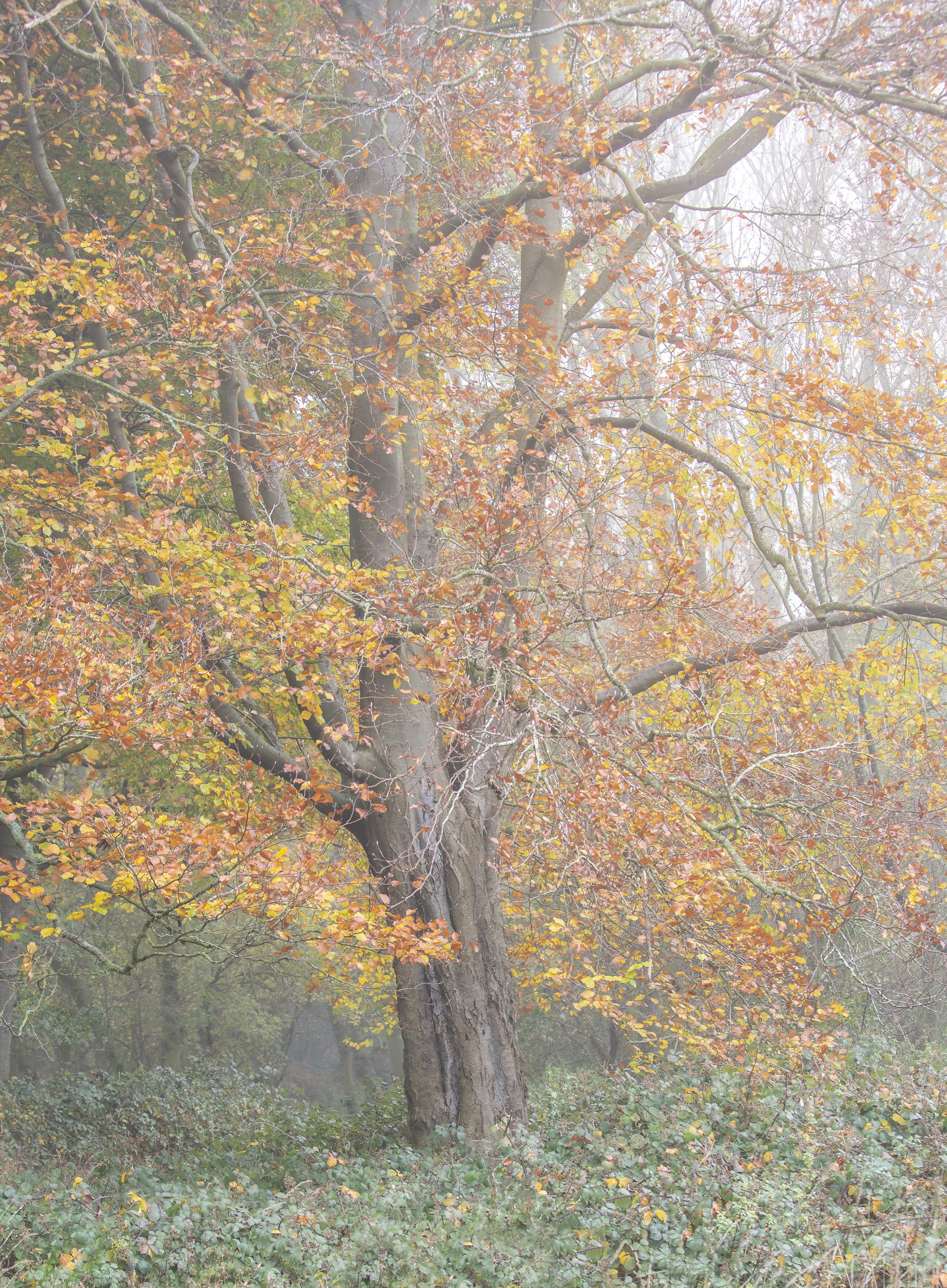 Ashridge Misty Tree