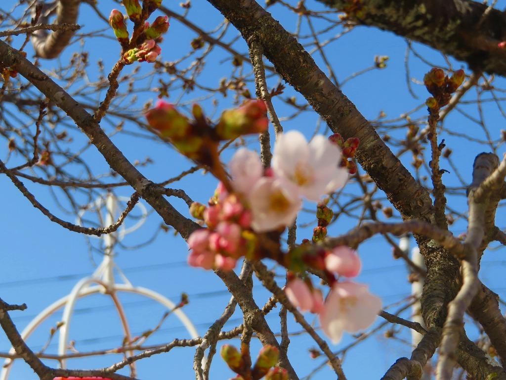 1536 15,19, 桜の開花(1)