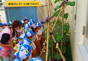 8-07-2  06,18, キュウリ栽培 (71).jpg