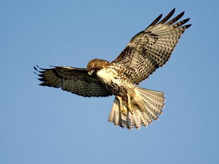 Welcome Hawks !