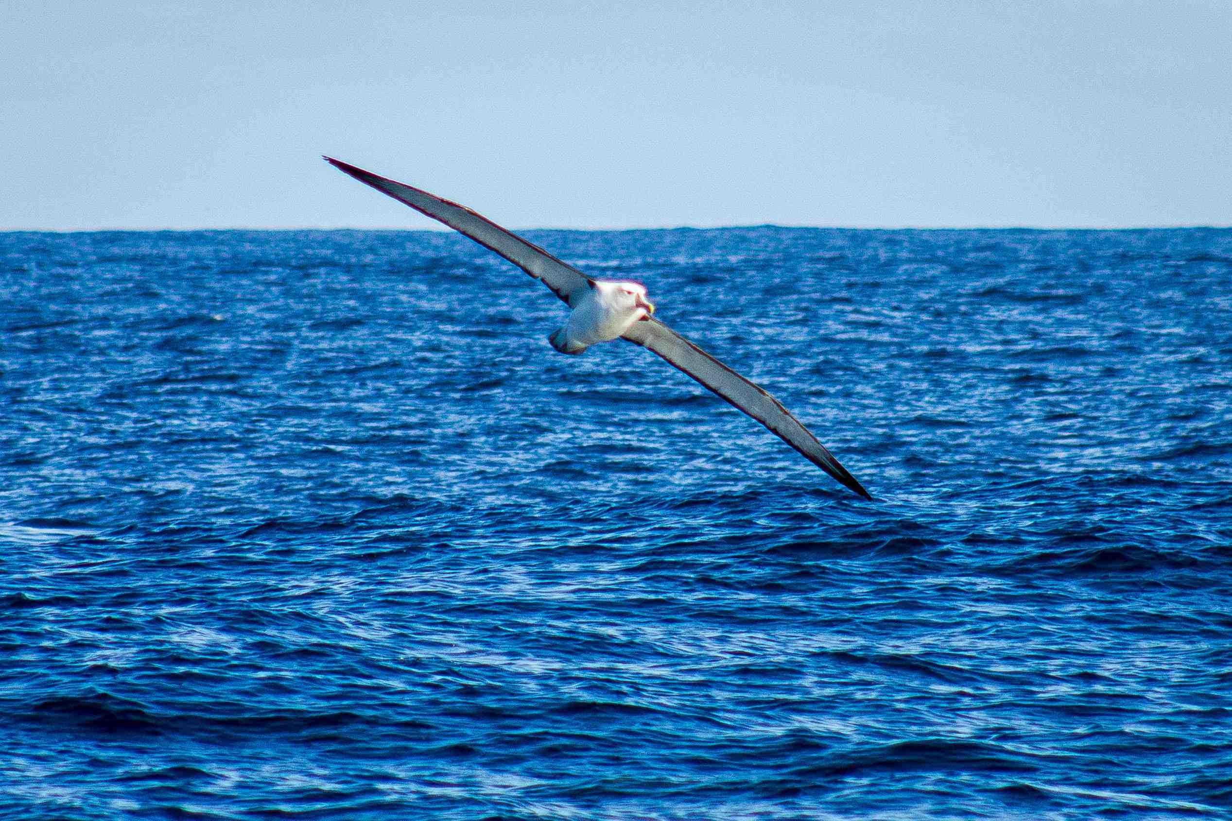 Albatross, Kaikoura NZ
