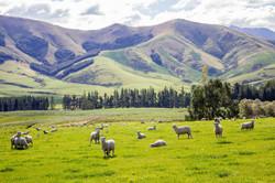 Sheep, north of Queenstown NZ