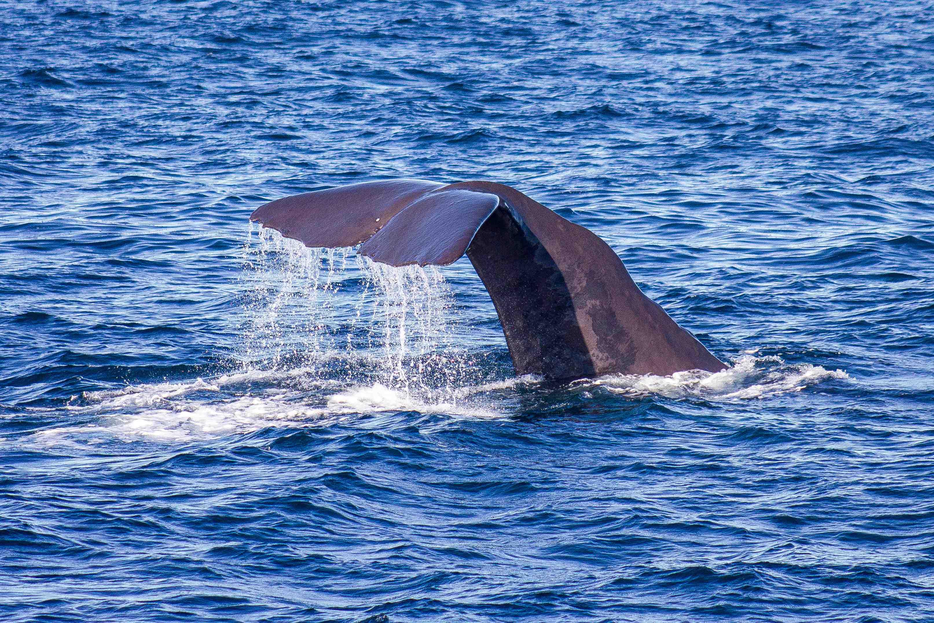 Whale diving, Kaikoura NZ