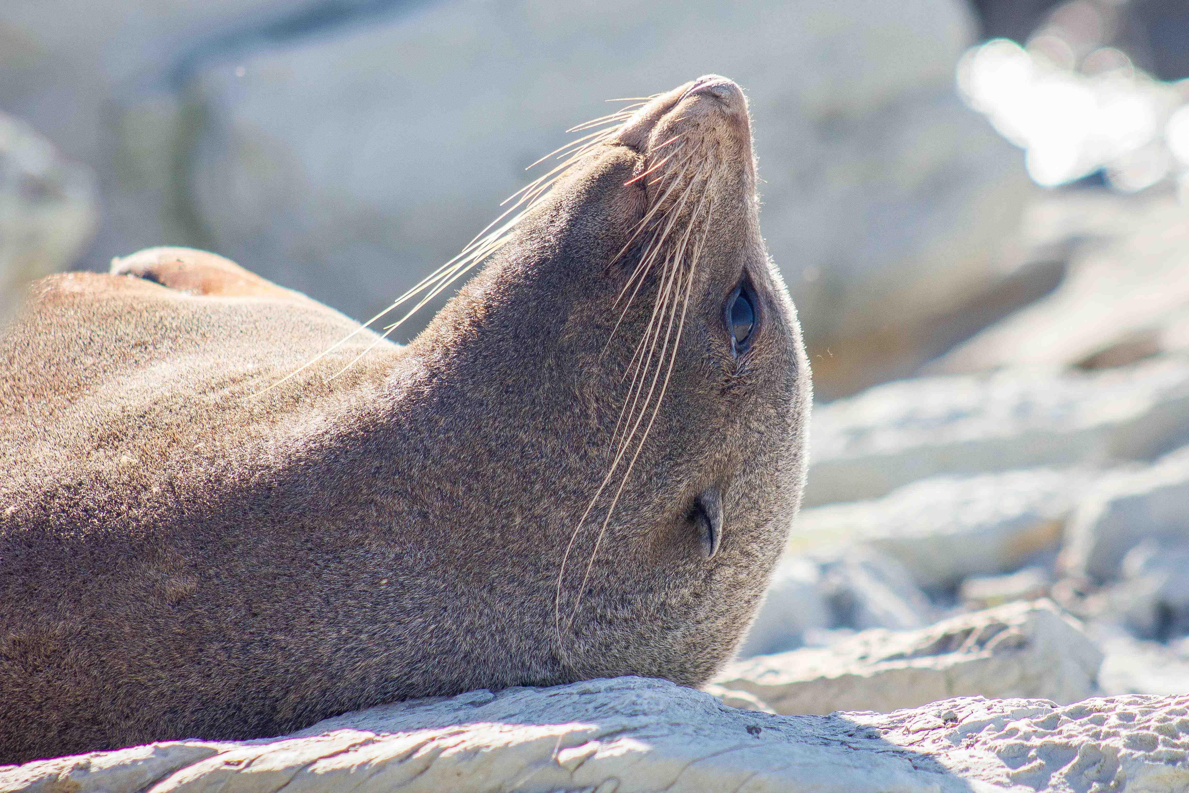 Napping seal, Kaikoura NZ