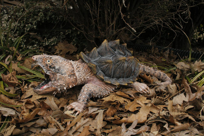 """""""Snappy"""" the Alligator Snapper. #HR2"""